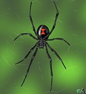 Way do the black widows have that hourglass ?