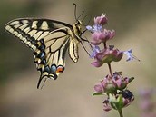 Side view of the Anise Swallowtail Butterfly.