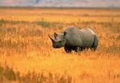 The Endangered Black Rhinos