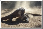 A Komodo Male with the loser pinned under him