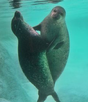 Two seals dancing
