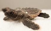Loggerhead Sea Turtle   (AKA Caretta caretta)