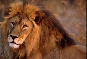 Find all intresting thrilling facts about the king of Africa!