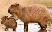 Capybaras are the largest rodent in the world