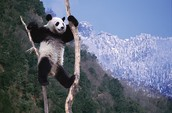 Interesting Fact's About The Giant Panda
