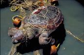 Garbage Affecting Turtles