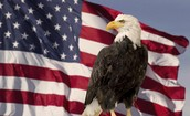 The bald eagle is standing in front of a flag