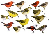 Hawaiian Honeycreepers