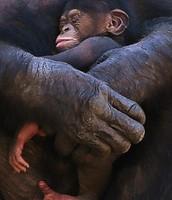 A new Born Chimpanzee
