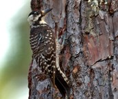 This species can be found in the Sandhill and Coastal regions of North Carolina.