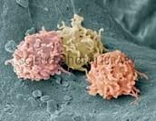 Granolocytes