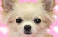 Cute long haired Chiwawa dog