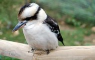 A Laughing Kookaburra