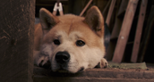 Hachiko as a puppy