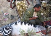 Grevy's Zebra Protection