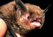 Indiana Bat (Land)