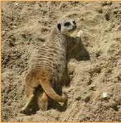 Meerkat's Camoflage