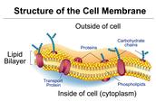cell membrane trap