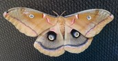 Look at the eye spots on this moth