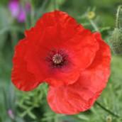 poppy wild flower