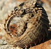 Desert Armadillo Lizard