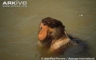 Swimming Proboscis Monkey