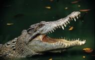 Freshwater Alligators