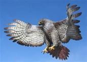 3.  Hawk