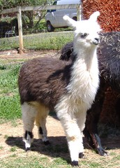 what are llamas