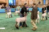 Showing Market Lambs