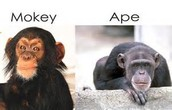Apes and monkeys.