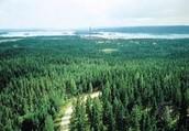 Conifer Tall Trees