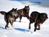 How do wolves hunt?