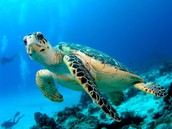 Sea Turtle hovering in water