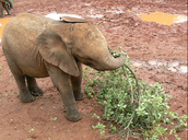 the Asian Elephant is a herbivore because they mostly eat plants and fruits