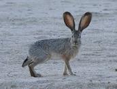Rabbits of the desert