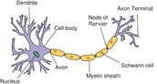 Nerve Impulses caused by the stimuli:
