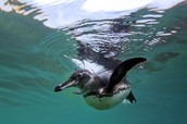 Galapagos Penguin in the Caribbean