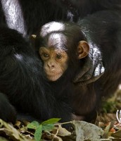 chimpanzees are cute