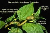 This is the characteristics of a Brown tree snake