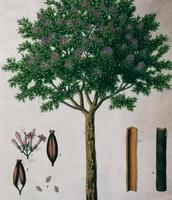 The cinchona  tree.