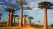 African Savanna Plant's