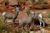 Capitol Reef Goats