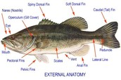 External Anatomy of a Perch