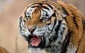 many siberian tigers