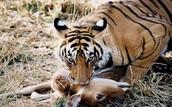 Tigers bite their preys neck to kill it.
