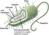 What is a prokaryote?