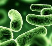 Bacterias verdes.