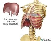 The Diaphragm
