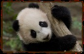 Panda Climbs